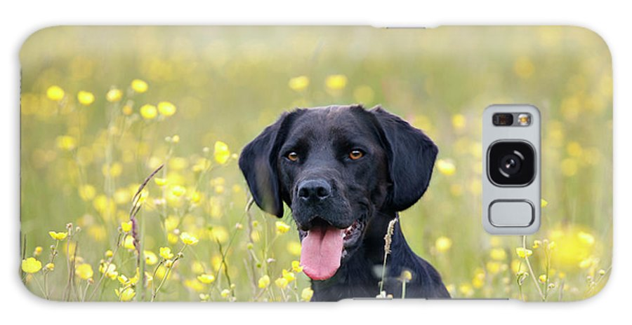 Pets Galaxy Case featuring the photograph Black Labrador Dog Sitting In Buttercup by Juliet White