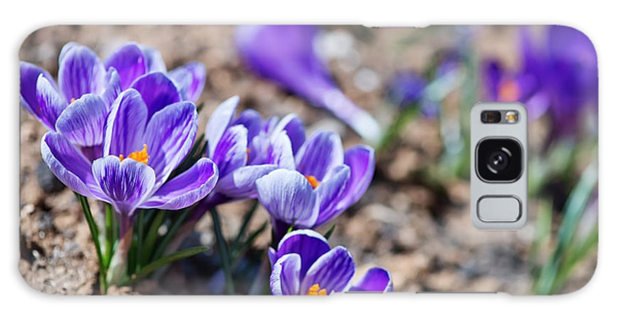 Magenta Galaxy S8 Case featuring the photograph Crocus In Spring Garden, Flowers In The by Gayvoronskaya yana
