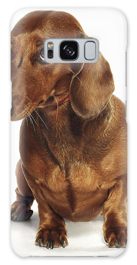 Pets Galaxy Case featuring the photograph Dachshund Looking Up by Gandee Vasan