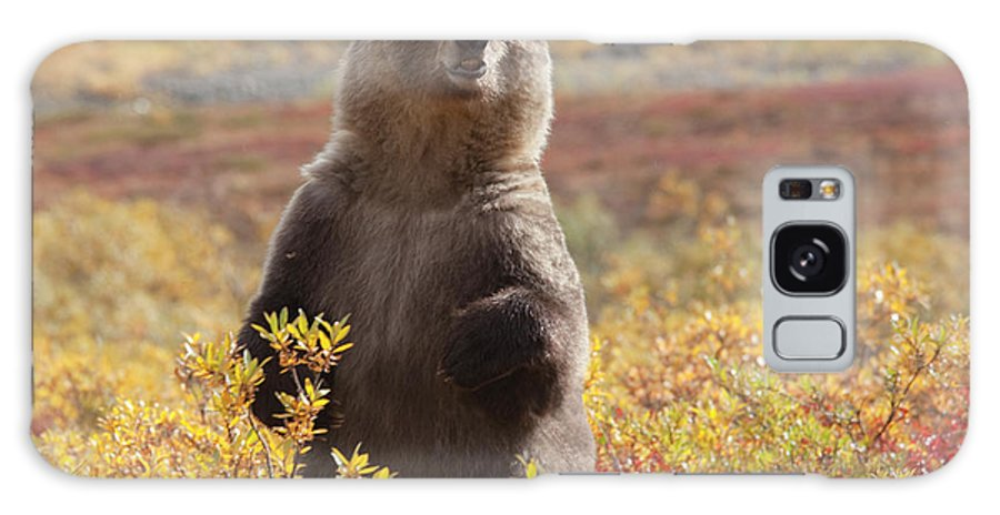 Brown Bear Galaxy Case featuring the photograph Grizzly Bear Standing Amid Autumn by Dhughes9