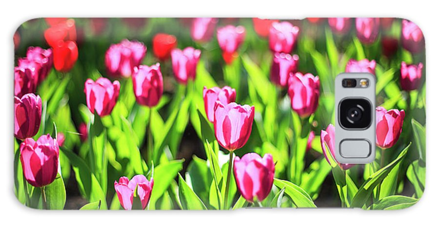 Taiwan Galaxy Case featuring the photograph Purple And Red Tulips Under Sun Light by Samyaoo