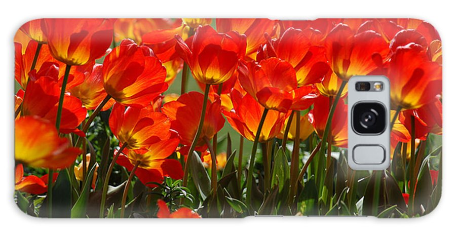 Orange Tulip Galaxy S8 Case featuring the photograph Sun-Drenched Tulips by Suzanne Gaff
