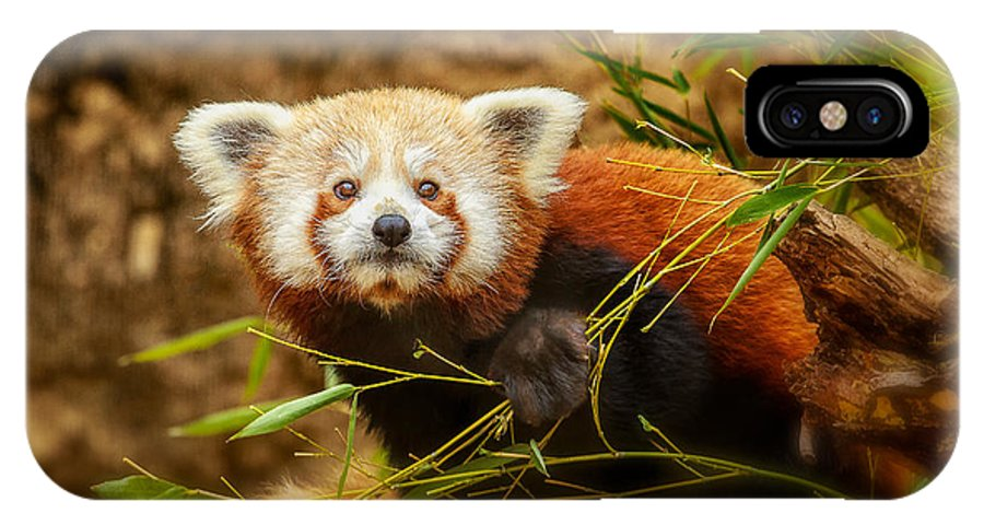 Red Panda IPhone X Case featuring the photograph Are You Looking At Me by Michael Pachis