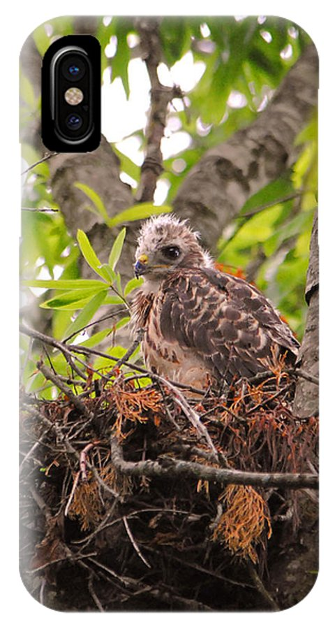 Red Shouldered Hawk IPhone X / XS Case featuring the photograph Baby Red Shouldered Hawk by Jai Johnson