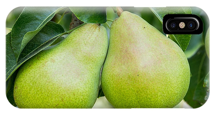 Agriculture IPhone X Case featuring the photograph Bartlett Pears by John Trax