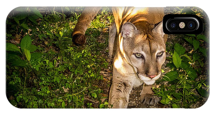 Mountain Lion IPhone X Case featuring the photograph Belize Mountain Lion by Roy Bendell
