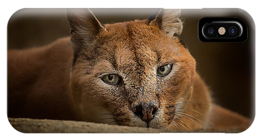 Caracal IPhone X Case featuring the photograph Caracal by Michael Pachis
