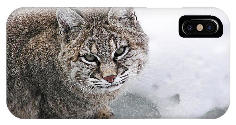Lynx IPhone X Case featuring the photograph Close-up Bobcat Lynx On Snow Looking At Camera by Sylvie Bouchard