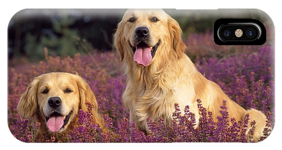 Golden Retriever IPhone X / XS Case featuring the photograph Golden Retriever Dogs In Heather by John Daniels