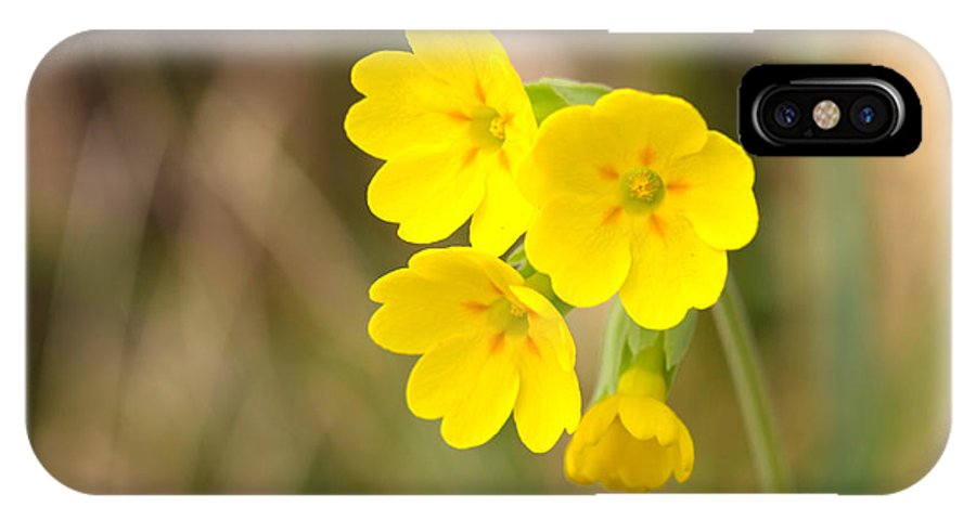 Cowslip IPhone X Case featuring the photograph Primula Cowslip Fairy Cups by Jivko Nakev