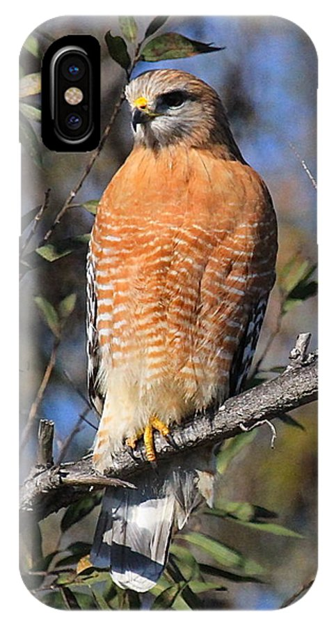 Red Shoulder Hawk Prints IPhone X Case featuring the photograph Red Shoulder Hawk by Paul Marto