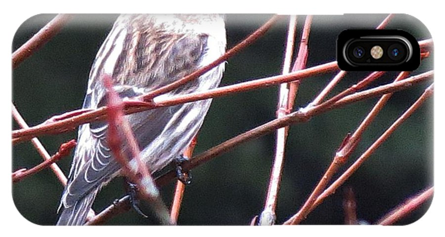 Redpoll IPhone X Case featuring the photograph Redpoll by MTBobbins Photography