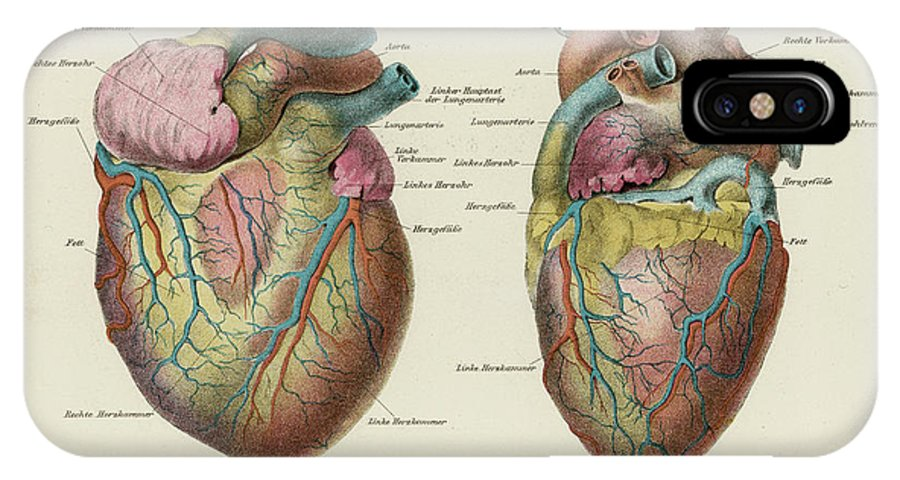 German IPhone X Case featuring the drawing Two Views Of The Heart, With The Parts by Mary Evans Picture Library