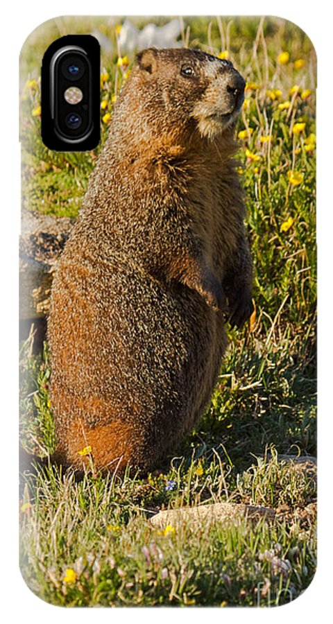 Animal IPhone X Case featuring the photograph Yellow Bellied Marmot On Alert In Rocky Mountain National Park by Fred Stearns