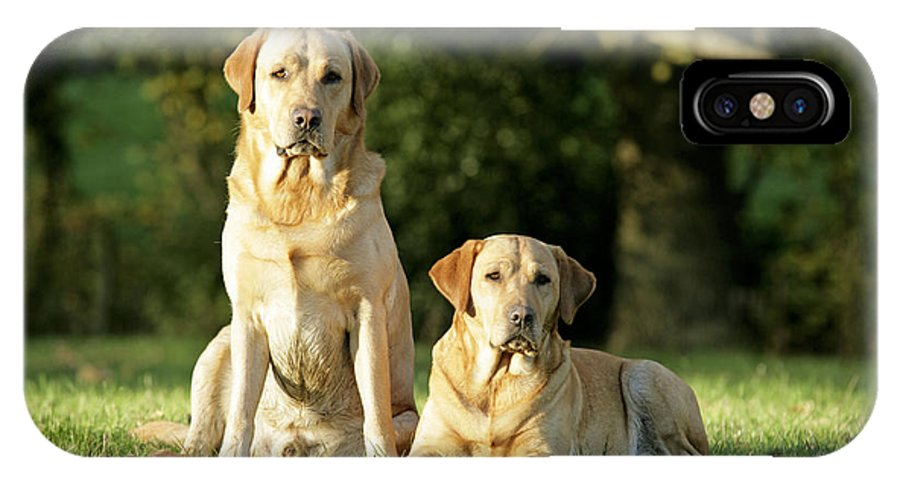 Dogs IPhone X / XS Case featuring the photograph Yellow Labrador Retrievers by John Daniels