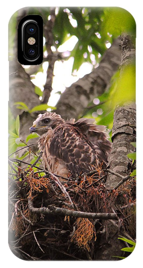 Red Shouldered Hawk IPhone X / XS Case featuring the photograph Baby Red Shouldered Hawk In Nest by Jai Johnson