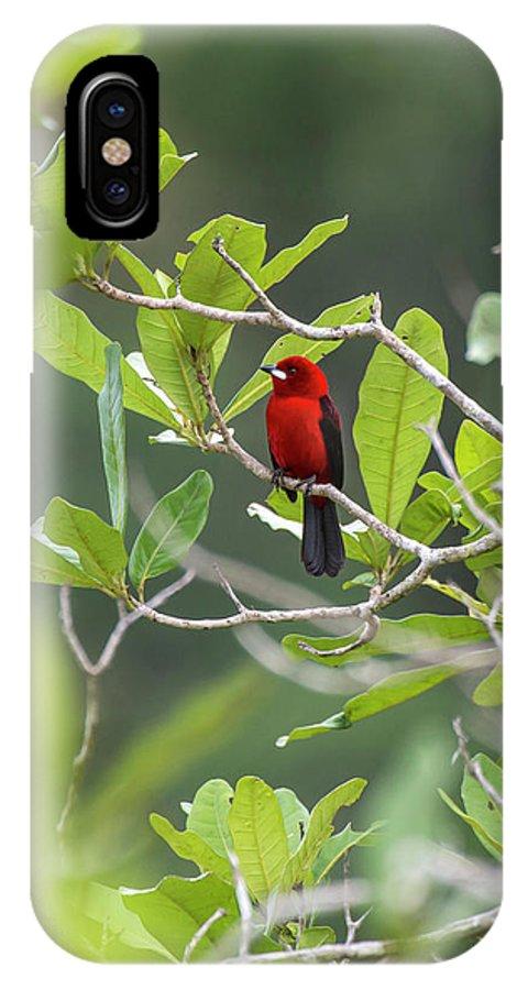 Birds IPhone X Case featuring the photograph Brazilian Tanager Ramphocelus Bresilius by Leonardo Mer�on
