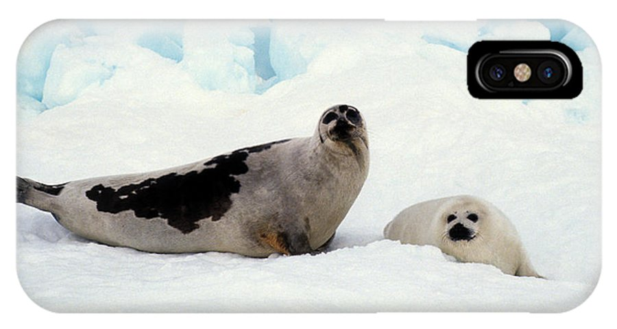 Harp Seals IPhone X Case featuring the photograph Harp Seals On Hudson Bay by Carl Purcell