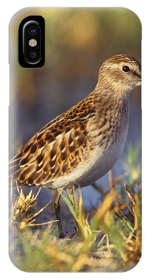 Animalia IPhone X Case featuring the photograph Least Sandpiper by Don Baccus
