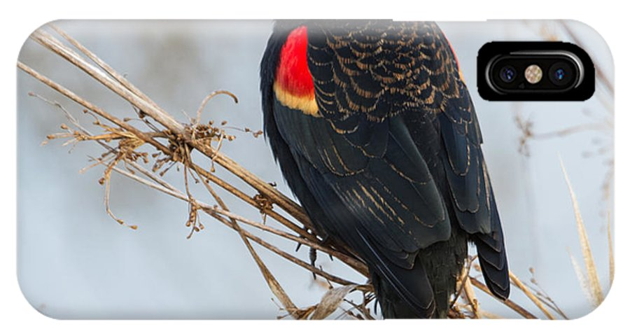 Red-winged Blackbird IPhone X Case featuring the photograph Red-winged Blackbird by Angie Vogel