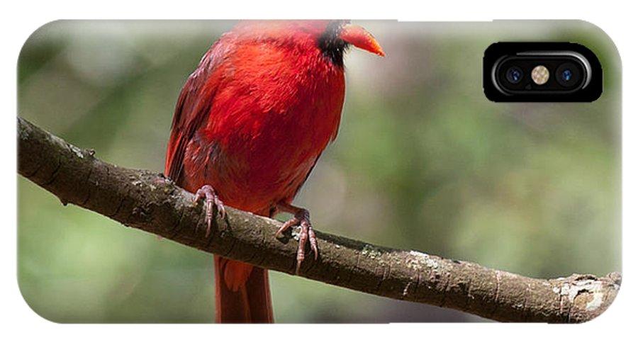 Cardinal IPhone X Case featuring the photograph The Singing Cardinal by Lara Ellis