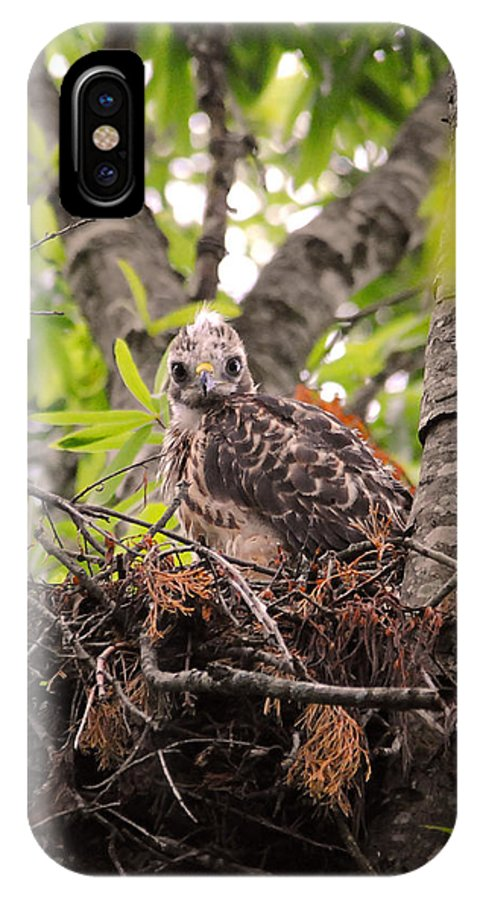 Red Shouldered Hawk IPhone X Case featuring the photograph Baby Red Shouldered Hawk In Nest by Jai Johnson