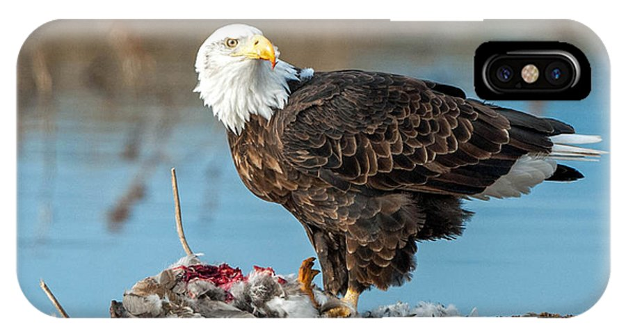 Bald Eagle IPhone X Case featuring the photograph Bald Eagle by Tom Ingram