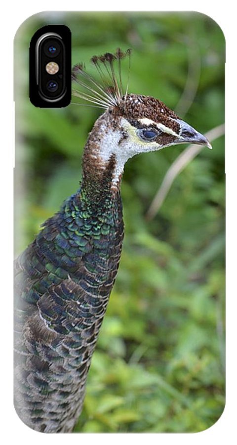 Female Peacock IPhone X Case featuring the photograph A Female Peacock by Alex King