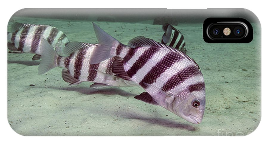 Fish IPhone X Case featuring the photograph A School Of Sheepshead Feeding by Michael Wood