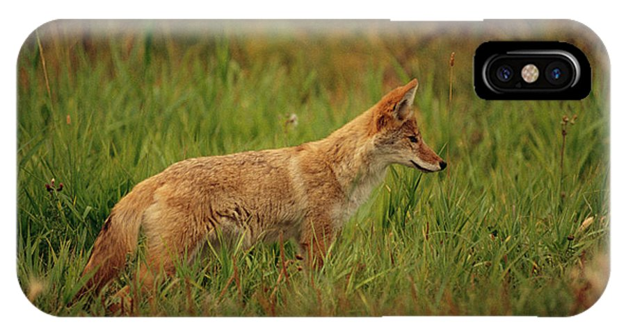 Day IPhone X / XS Case featuring the photograph A Young Coyote by Raymond Gehman