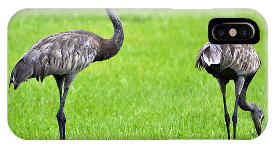 Two IPhone X Case featuring the photograph Adult Florida Sandhill Cranes Grus Canadensis Pratensis II Usa by Sally Rockefeller