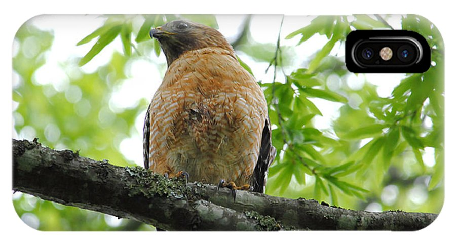 Red Shouldered Hawk IPhone X / XS Case featuring the photograph Adult Red Shouldered Hawk by Jai Johnson