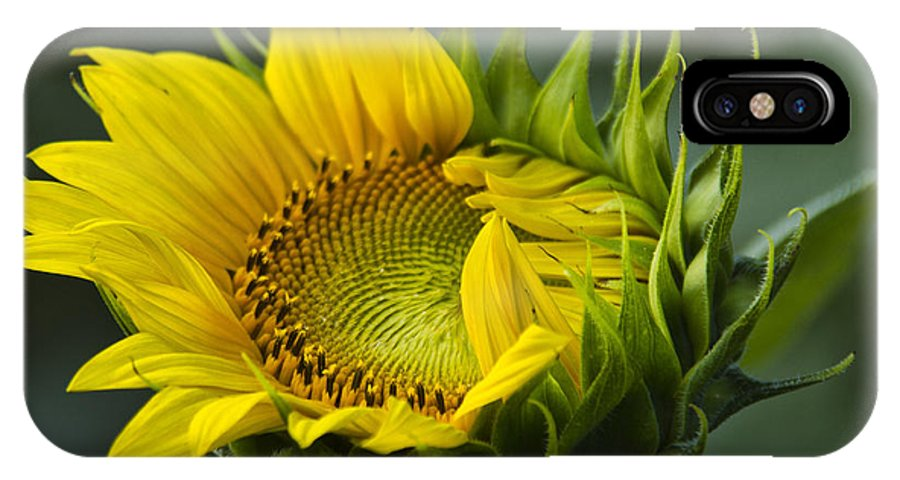 Sunflower IPhone X / XS Case featuring the photograph Almost Open by Sharon M Connolly