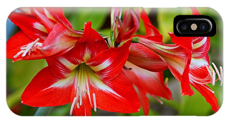 Amaryllis IPhone X Case featuring the photograph Amaryllis In Bloom by Carmen Del Valle