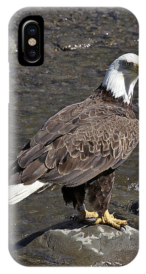 Maine Wildlife IPhone X / XS Case featuring the photograph American Bald Eagle by Sharon Fiedler