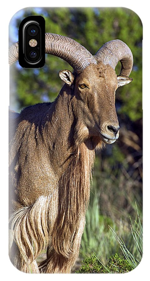 Aoudad IPhone X Case featuring the photograph Aoudad Sheep by Gary Langley