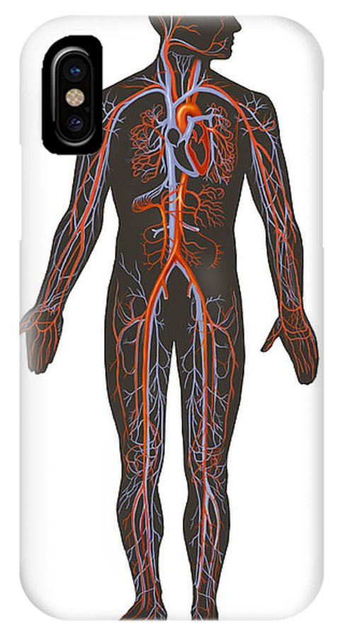 Vertical IPhone X Case featuring the digital art Arteries And Veins Of The Human Body by TriFocal Communications