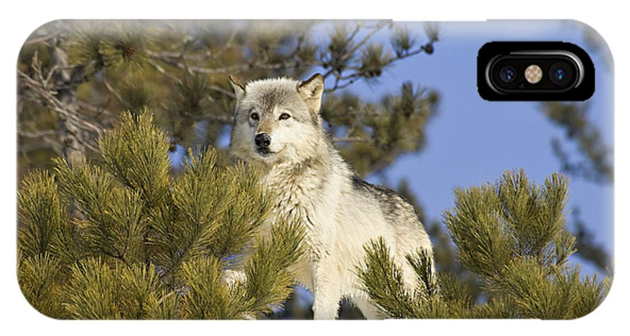 Wolf IPhone X Case featuring the photograph Aware by Jack Milchanowski