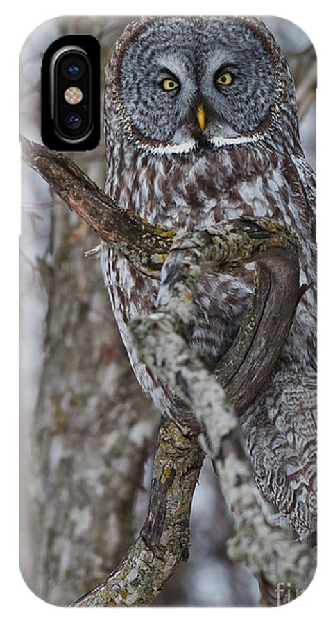 IPhone X Case featuring the photograph Beautiful Great Gray by Cheryl Baxter