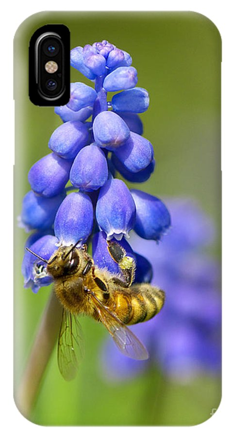 Bee IPhone X Case featuring the photograph Bee On Grape Hyacinth by Sharon Talson