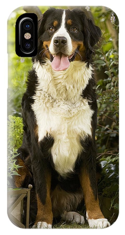 Bernese Mountain Dog IPhone X / XS Case featuring the photograph Bernese Mountain Dog by Jean-Michel Labat