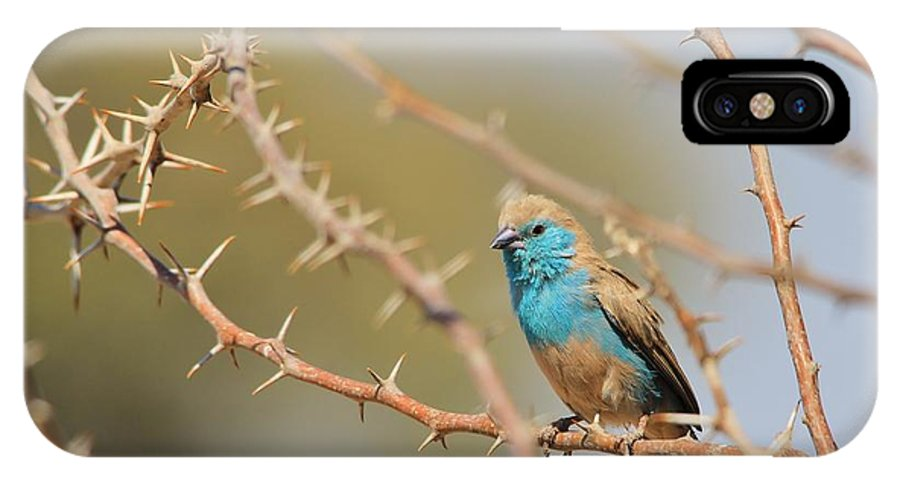 Africa IPhone X Case featuring the photograph Blue Waxbill - Among The Thorns by Hermanus A Alberts