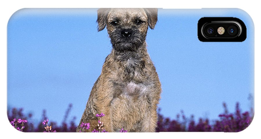 Border Terrier IPhone X / XS Case featuring the photograph Border Terrier Dog, In Heather by John Daniels