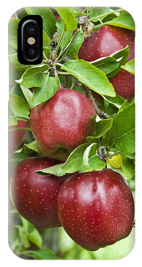 Apple IPhone X Case featuring the photograph Bunch Of Red Apples by Anthony Sacco