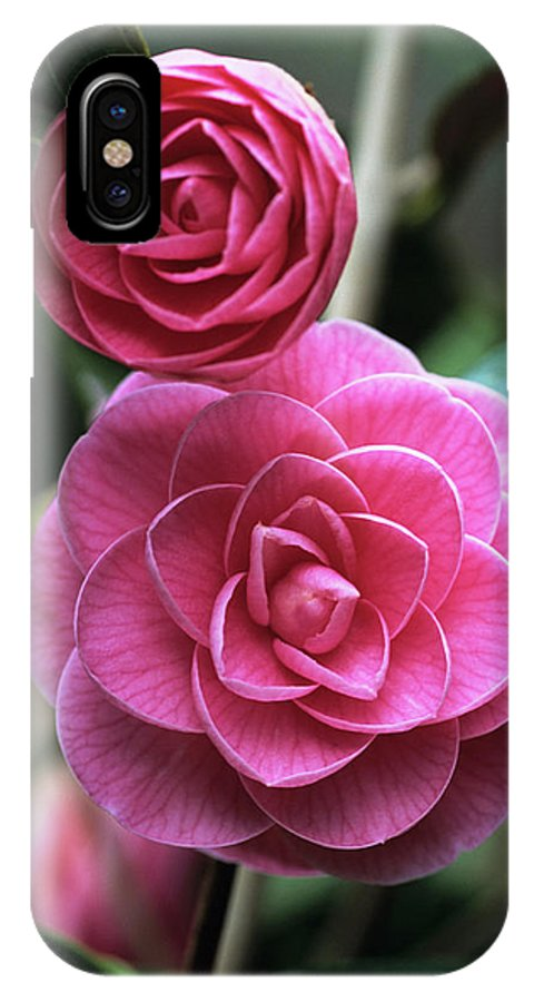 'sugar Babe' IPhone X Case featuring the photograph Camellia Flowers by Adrian Thomas/science Photo Library