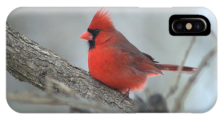 Cardinal IPhone X Case featuring the photograph Cardinal by Darla Abernathy