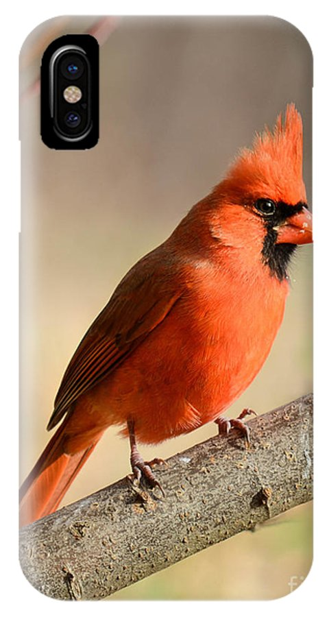 Cardinal IPhone X / XS Case featuring the photograph Cardinal Portrait by Amy Porter