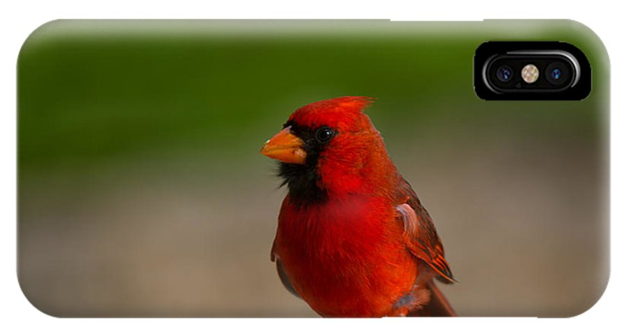 Cardinalis Cardinalis IPhone X / XS Case featuring the photograph Cardinal Red by Mike Dawson