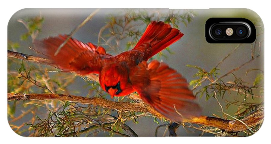 Wildlife/birds IPhone X Case featuring the photograph Cardinal Taking Flight by Photos by Patty In The Country