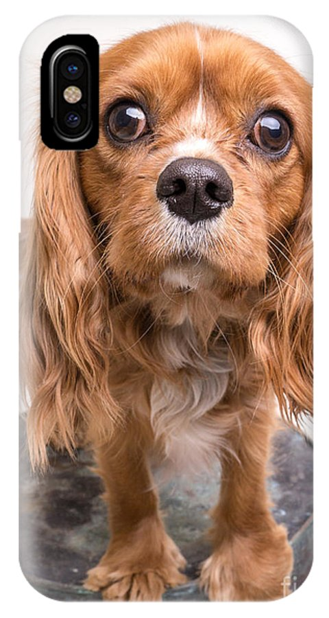 Cavalier IPhone X Case featuring the photograph Cavalier King Charles Spaniel Puppy by Edward Fielding